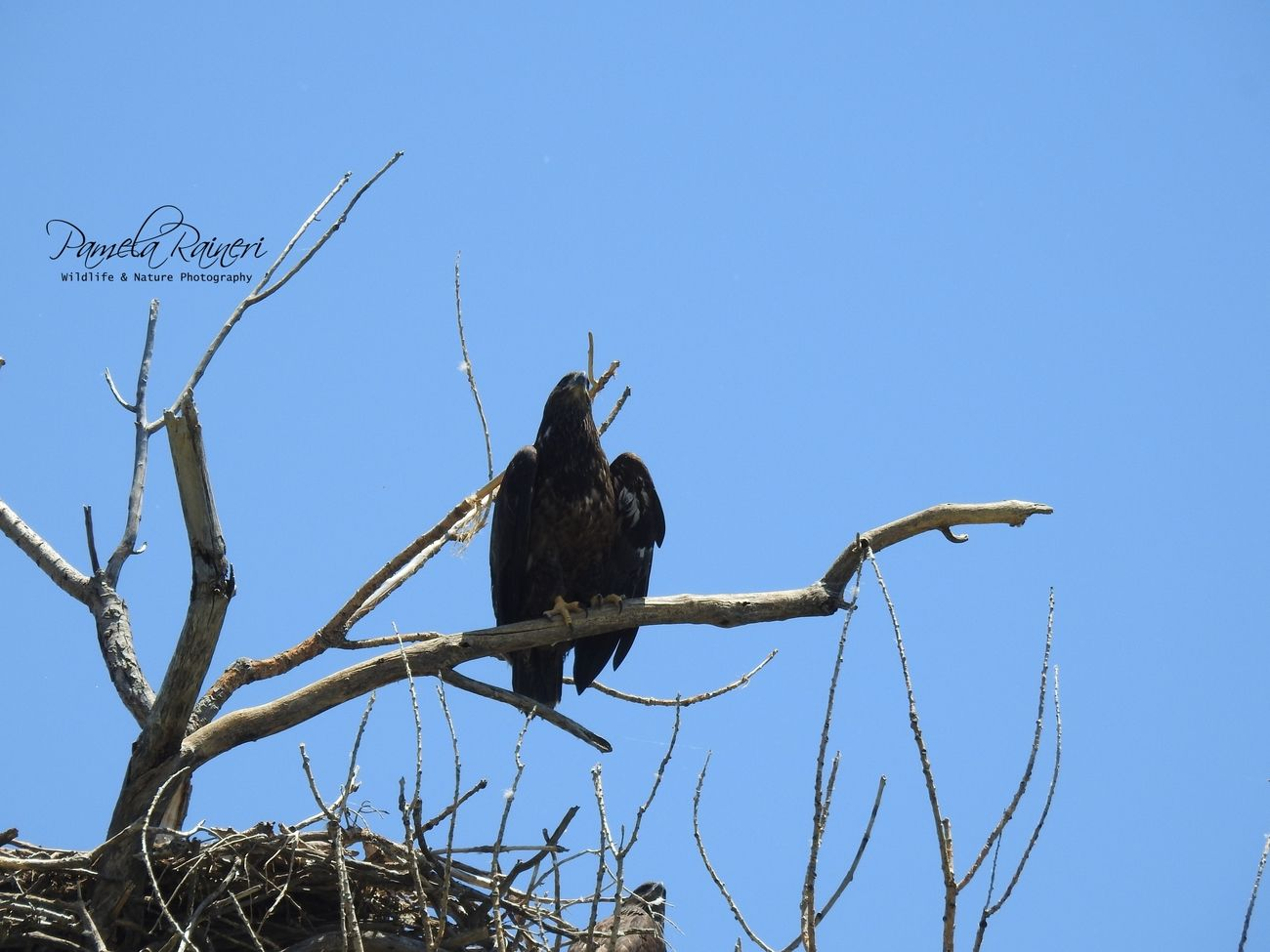 I have been watching a nest for awhile, there are 3 juveniles, 1 has fledged.  I was hoping this one was going to fledge when I was watching it, but no such luck.  Located near the Republican River in Scandia, Ks.