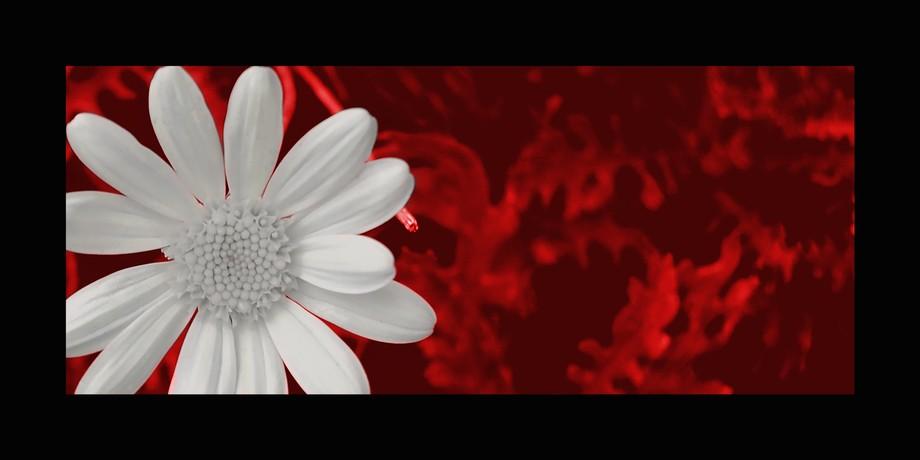 fiori margherita 3