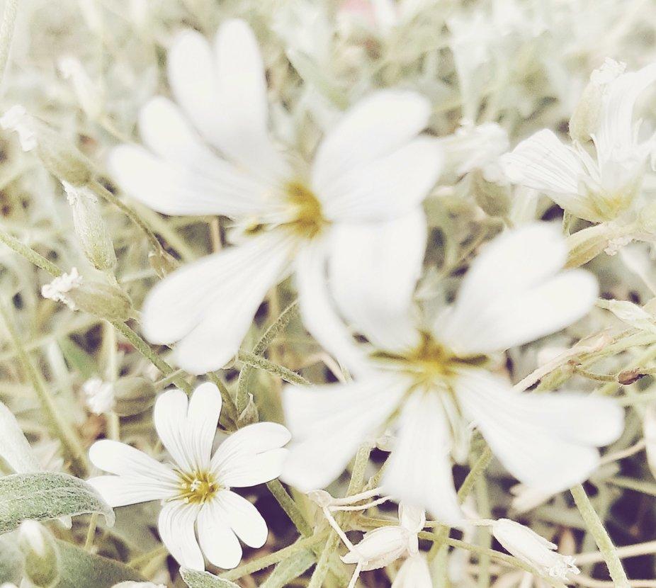 Field of Daisy's.    PSX_20190611_004324