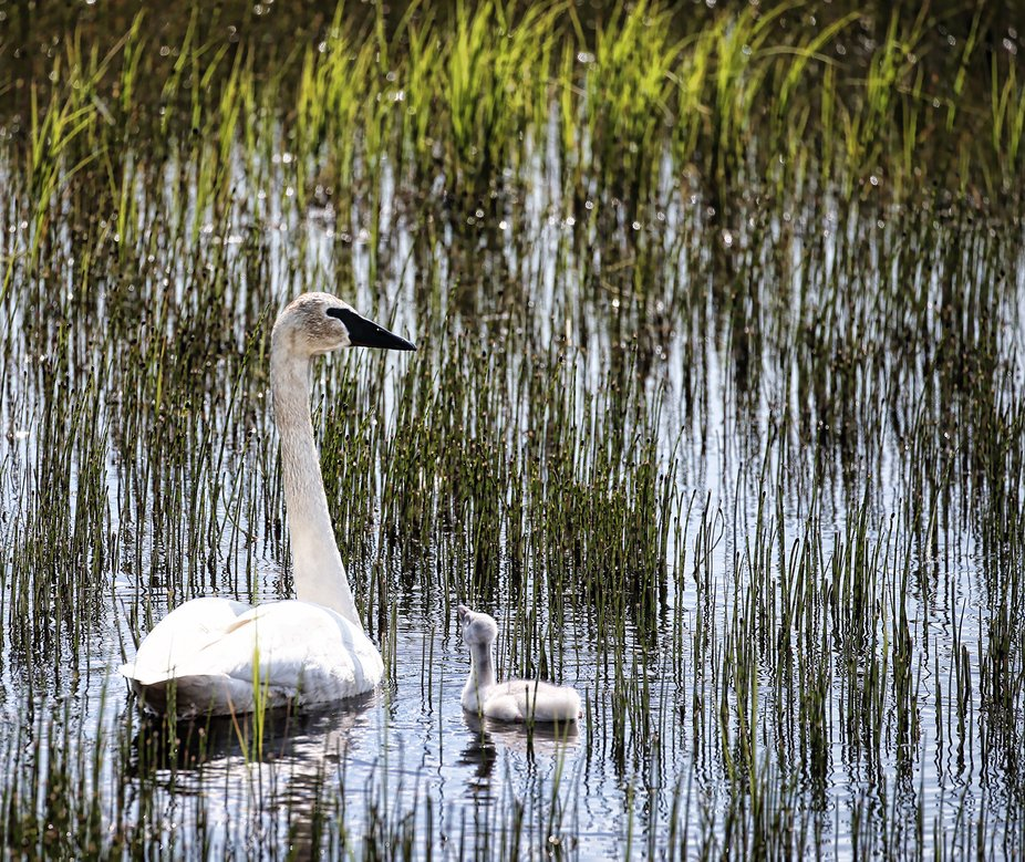 We have a marshy/headwater area close to where we live.  We have a pair of swans that come back t...
