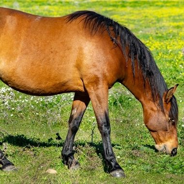 a beautiful brown horse grazing on fresh grass shoots on a spring day