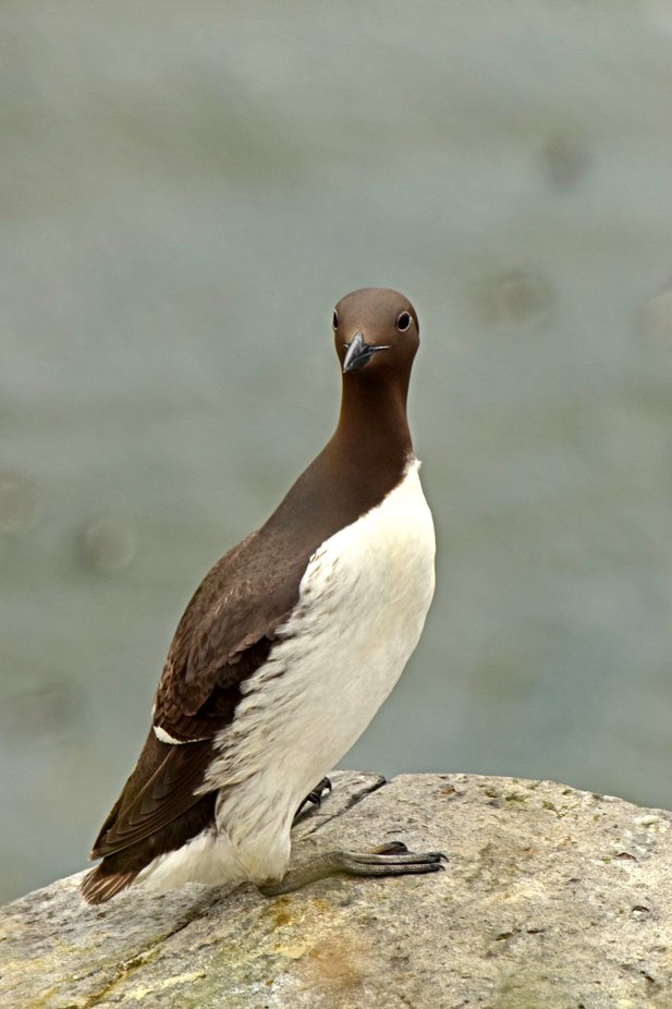Guillemot facing camera. Taken at Dunstanburgh castle.