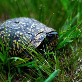 A box turtle roaming in the before the rain began.