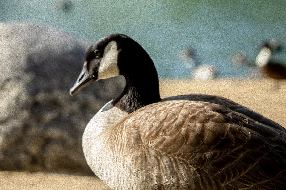 This gorgeous goose stands majestic amidst the sunlight.