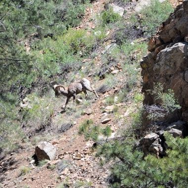 Bighorn joing the herd