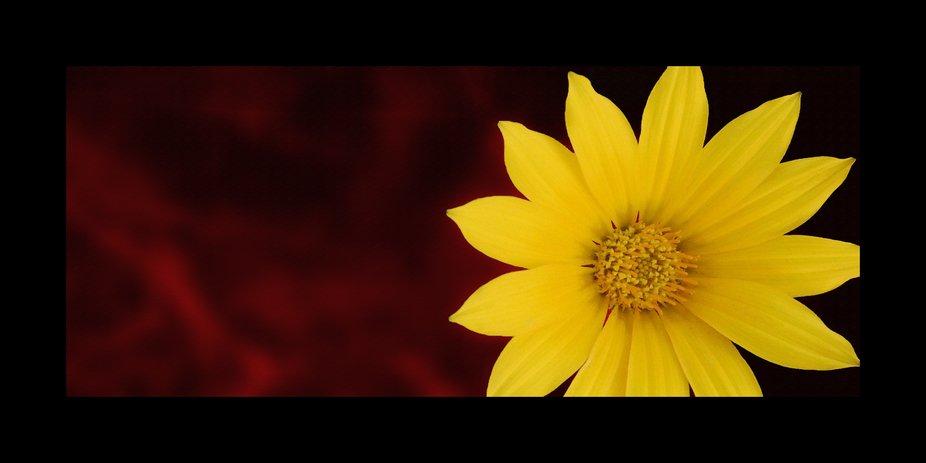 fiori margherita 4