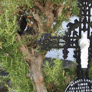 Nido de Mirlo comun (Turdus merula),con adulto y pollos.Construido en un arbusto de romero (Rosmarinus officinalis), planta aromatica, al lado de una vieja tumba del cementerio de La Alberca (Salamanca-Spain)