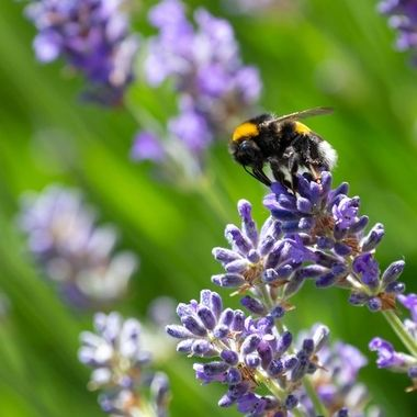 looking for nectar, a bumblebee on a lavender flower