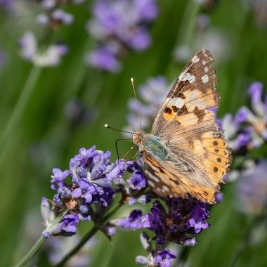 Getting out the nectar of a lavender flower