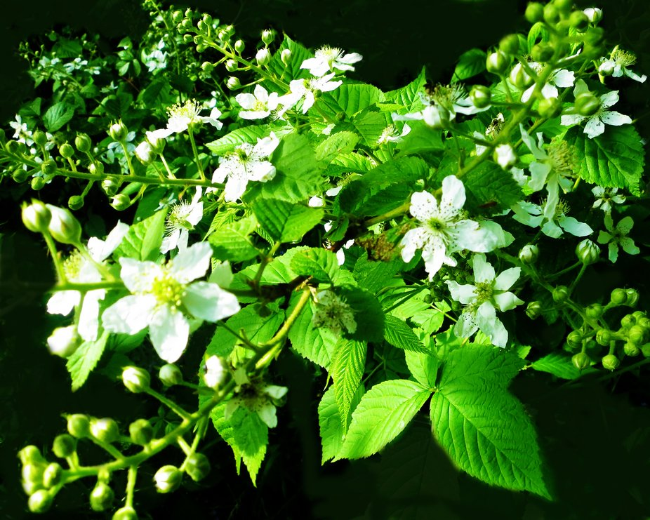 The blackberry bushes have begun to flower but we will have to wait until August for the berries ...