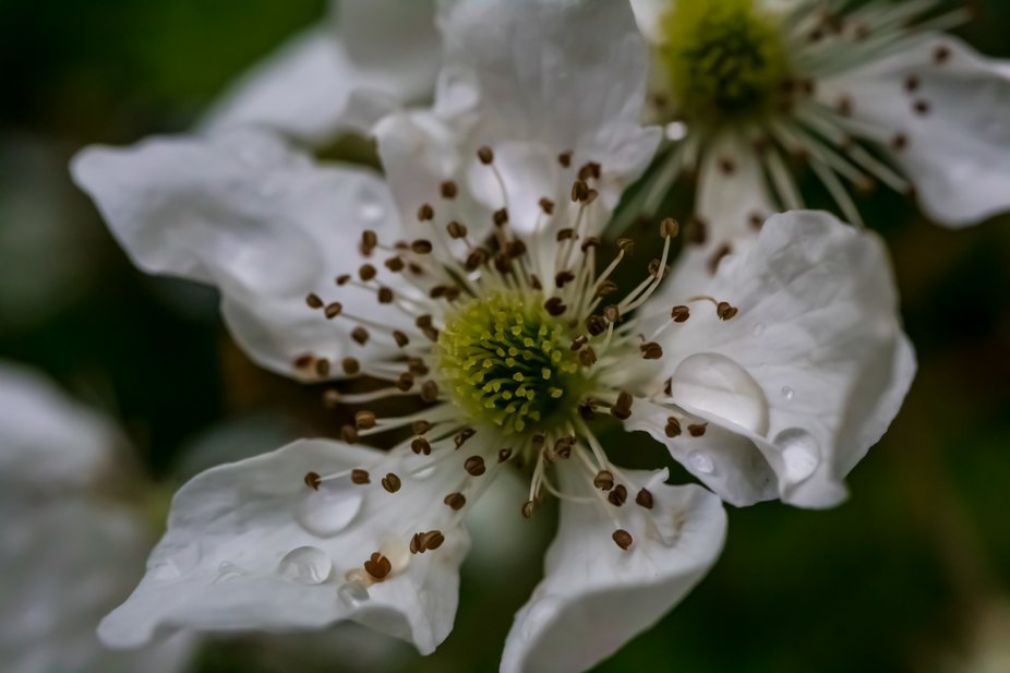 Waterdroplets on Petals