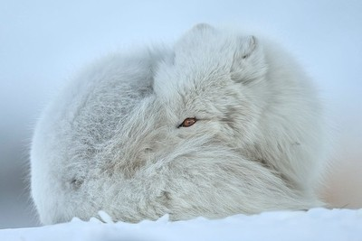 WHITE ARCTIC FOX PHOTO | FASHION MODEL
