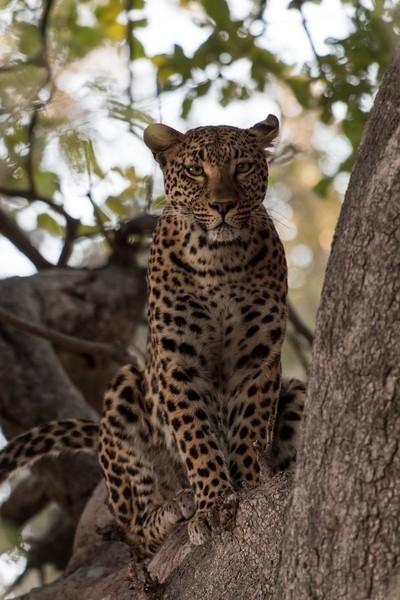 Leopard in Little Vumbura, Africa