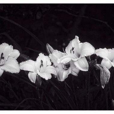 Four Lilies BNW