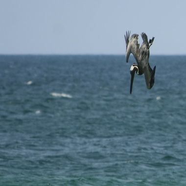 Diving Pelican 2