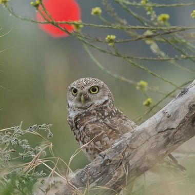 Burrowing Owl, Female, DSC05227