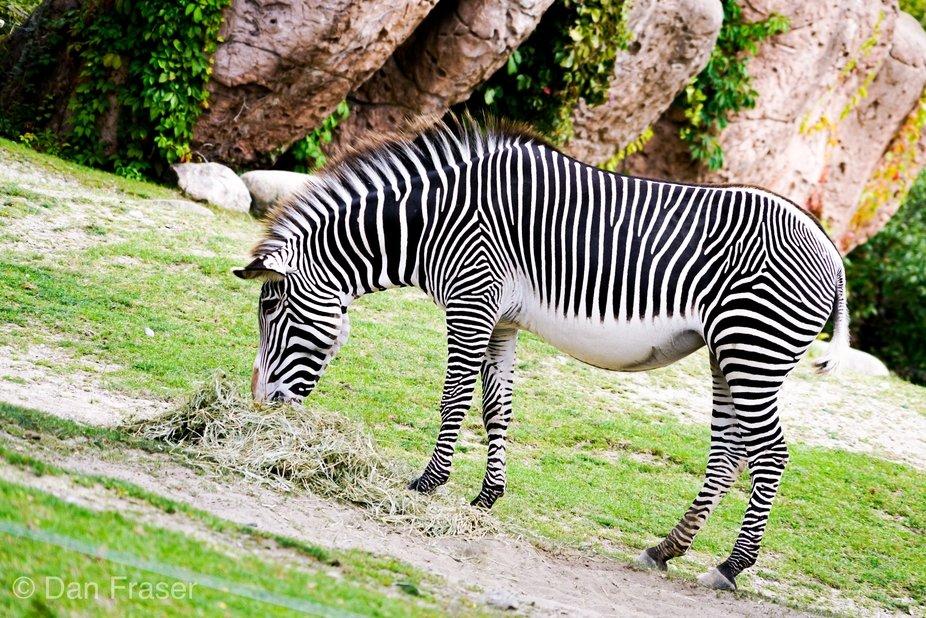 Black and white stripes confuse predators