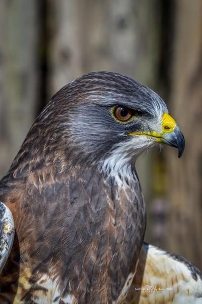 Flip the shouldered Hawk
