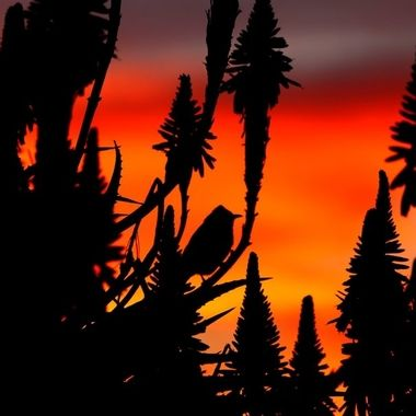 Aloe Sunset silouette