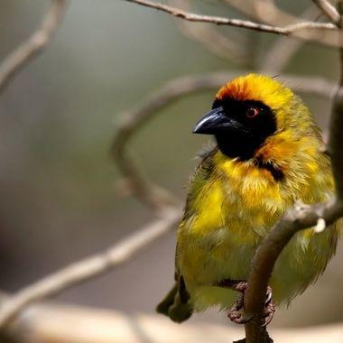 Adrian Mcleish - Bird Yellow Weaver - Dragon Fire Photography 2018.JPG