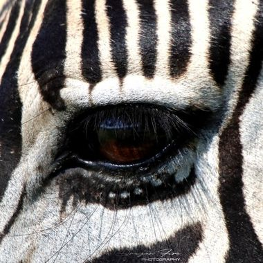 Adrian Mcleish - Zebra eye - Dragon Fire Photography 2019