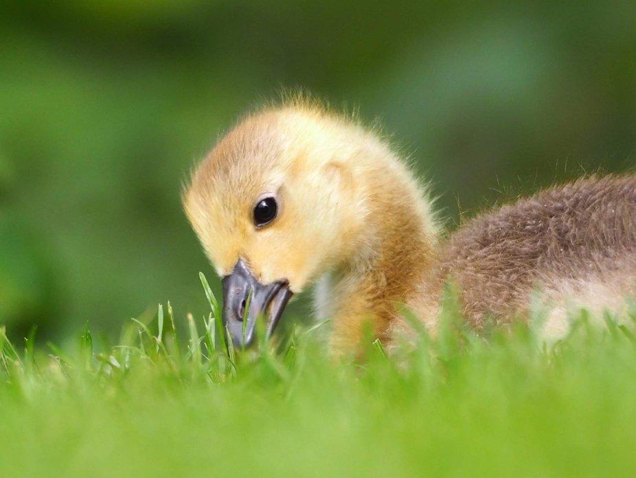 Gosling at Hylands Park.