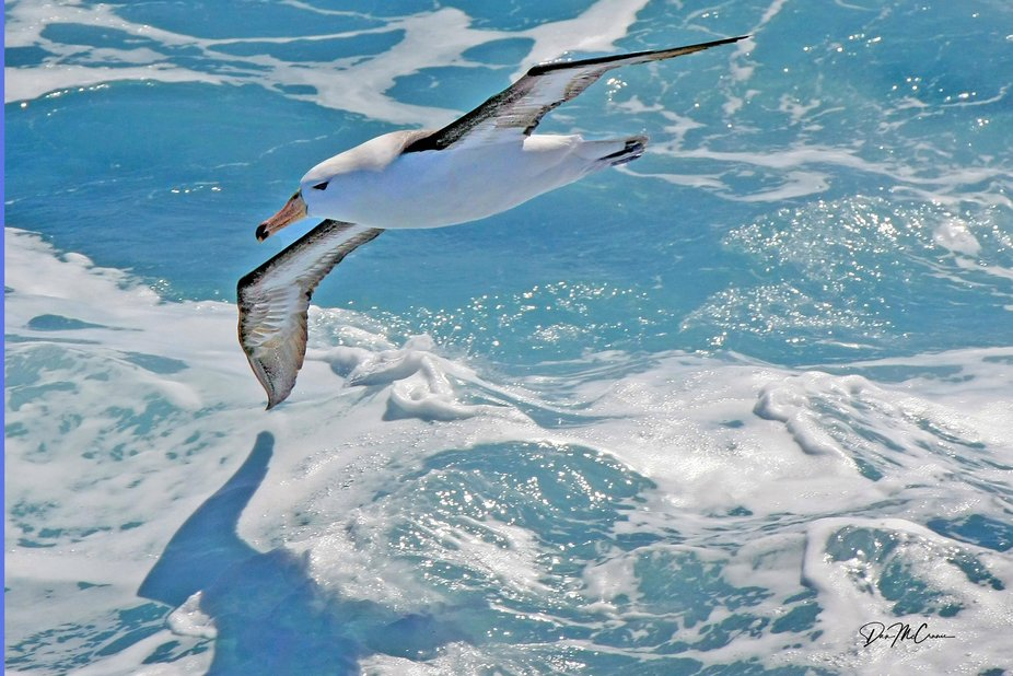 Black Browed Albatross, Southern Ocean, Ushuaia, Argentina