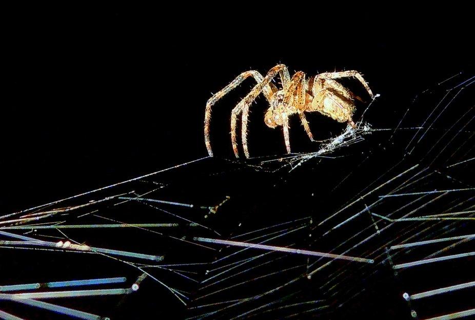 The Dutch spider.