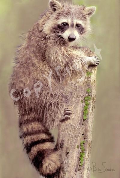 Raccoon 9476