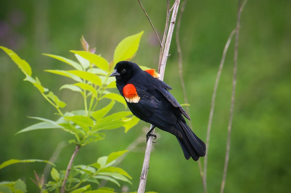 Red Wing Blackbird at Middlefork Forest Preserve