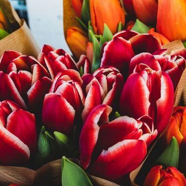 tulip-7577