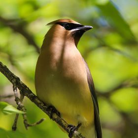Shadows On A Cedar Waxwing