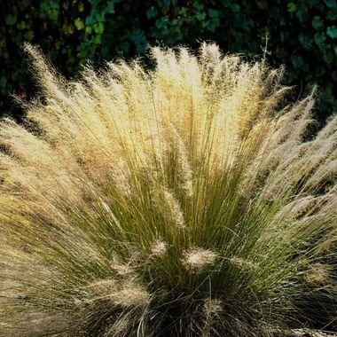 Pompass Grass