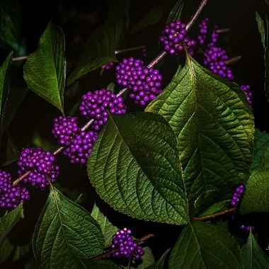 {Purple Berry Bush} Hide and Seek