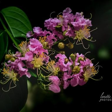 Crepe Myrtle in the Shadows