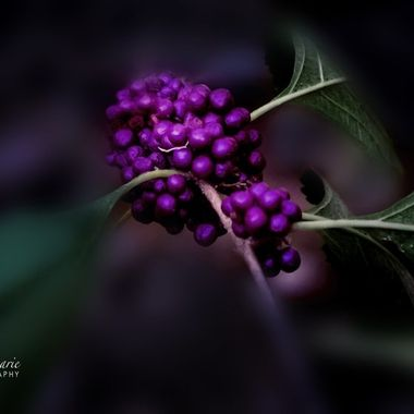 Purple Berry Bush