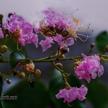 Pink Crepe