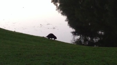 Beaver by the Lake