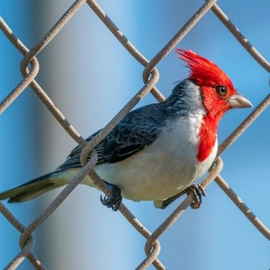 Hawaiian Cardinal