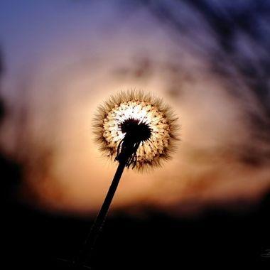 Dandelion Sun Set