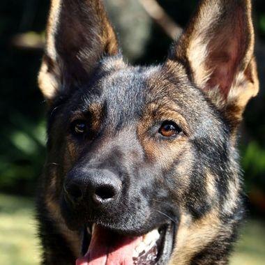 Odin the Dog
