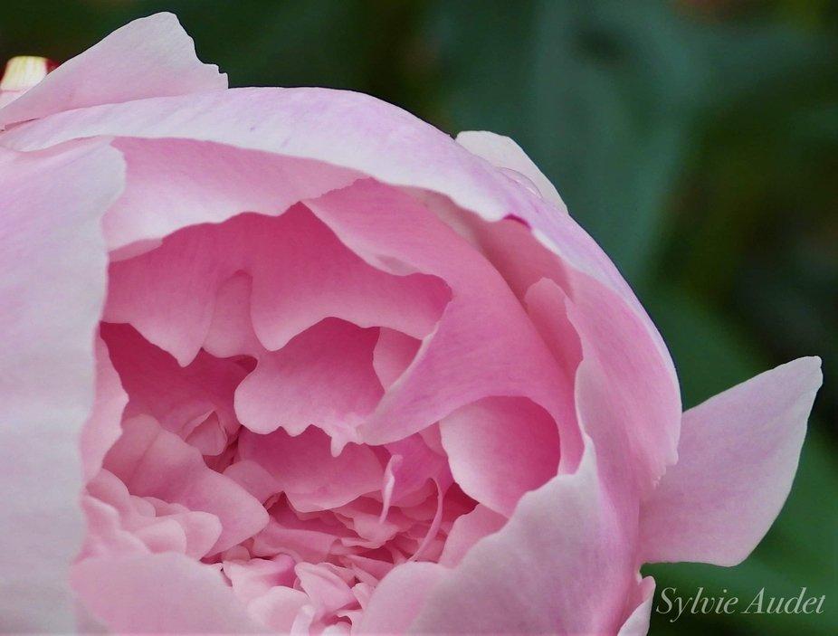 pink peonie bliss wm