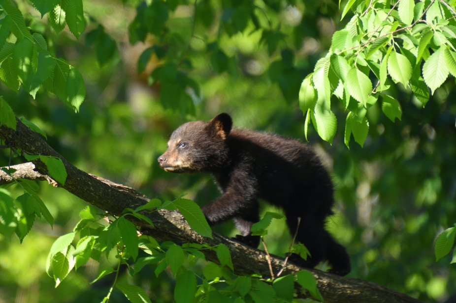 This spring cub was just walking out on a limb!