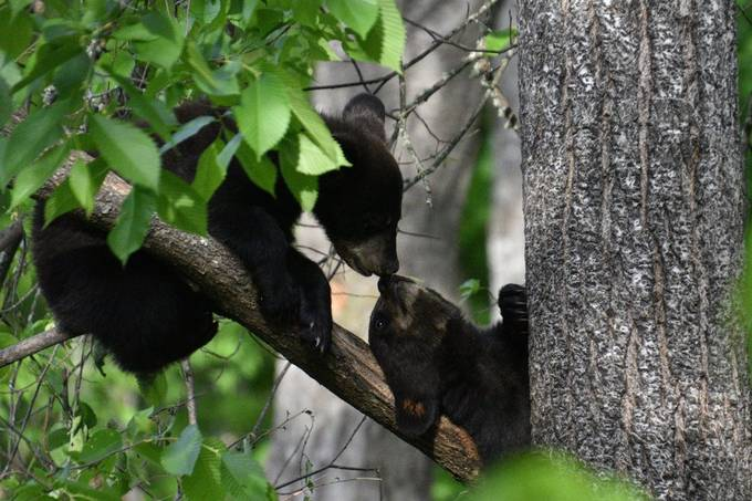 Spring Black Bear cub sharing a moment, looked like they were kissing!