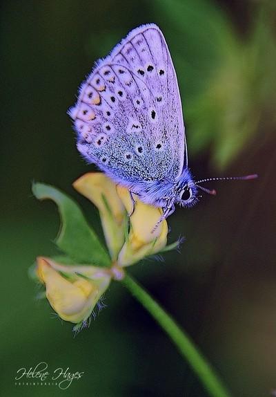 Tiny blue butterfly