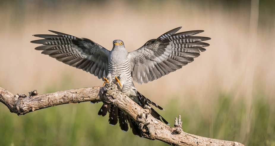 A male cuckoo coming into land