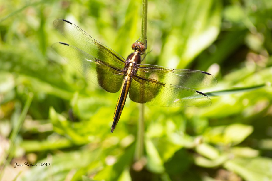 Had quite the model with this dragon fly that was flying around me while working in my yard. Thin...