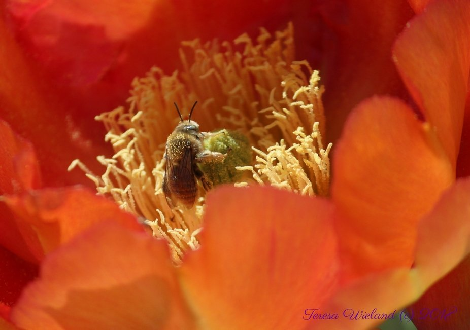 Honey bee in a cactus flower