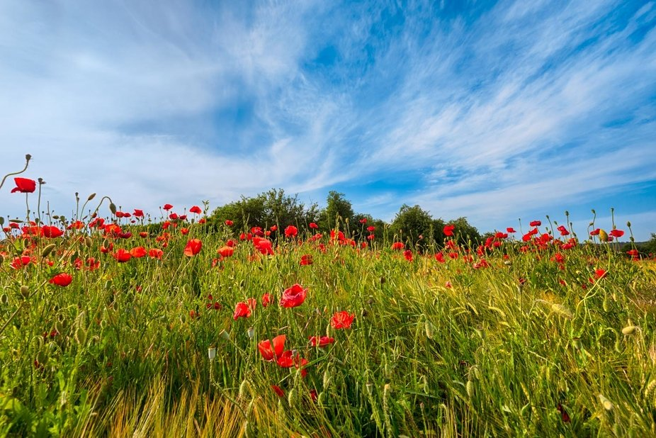 Poppies on a wheat field