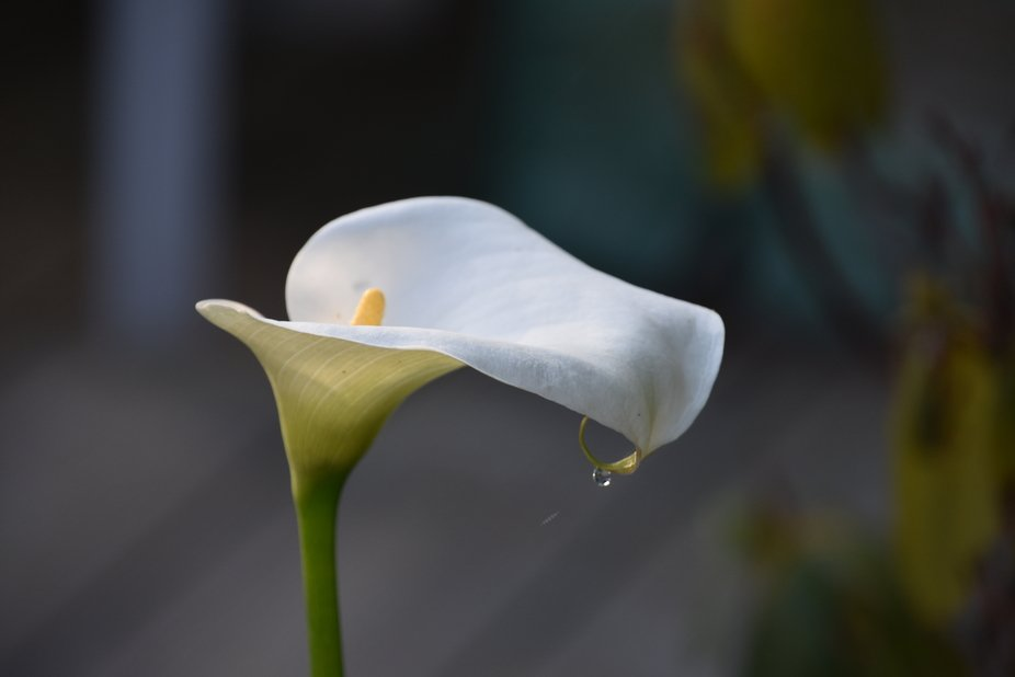 This lily was taken in my garden ,with the rain drop on I thought it looked like a ring